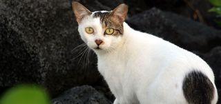 Feral_cat_1