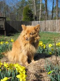 Daisy in the Daffodils