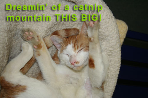 Dreamin' of a catnip mountain THIS BIG!
