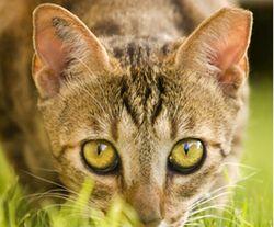 Cat_feral_closeup_270x224