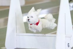 Flyball Picture