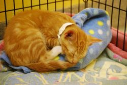 Orange kitten with IV bag