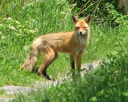 American Red Fox credit D. Gordon E. Robertson