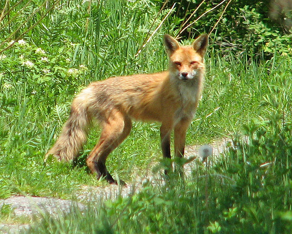 600px-American_Red_Fox