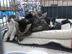 Alexa's foster kittens