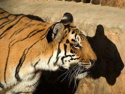 Royal_bengal_tiger
