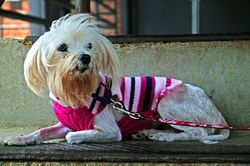 Mable, a Maltese who the Richmond SPCA saved from a situation of hoarding and neglect