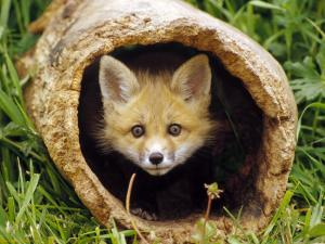 Peekaboo-red-fox-kit-1