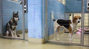 Husky & hound in kennels