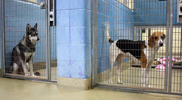Husky & hound in kennels