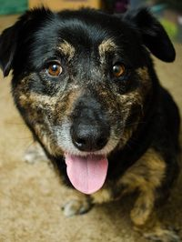 Elvis is a shepherd and basset hound mix awaiting adoption at the Richmond SPCA